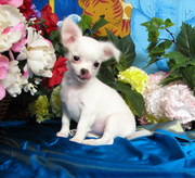 Pure Breed Chuihuahua puppies For Sale